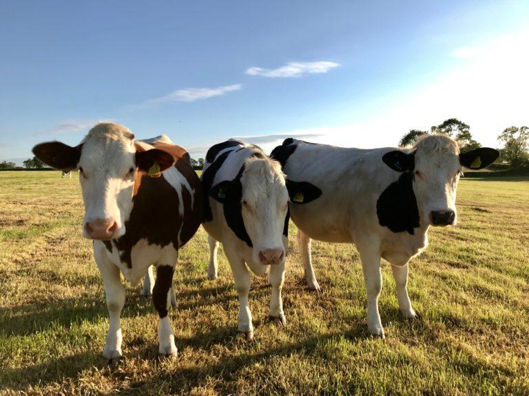 Cows at Vine Farm Dairy - their milk supplies Gelato Village in Leicester